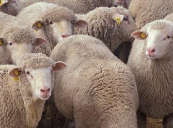Misure urgenti per la lotta alla Febbre Catarrale degli Ovini (Blue Tongue) - A.T.S. Brescia